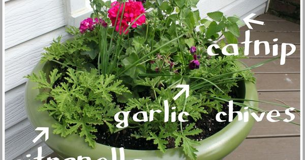 mosquito repellent plant with herbs