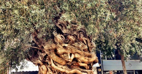 Centennial olive tree outside City Hall of Palma de Mallorca