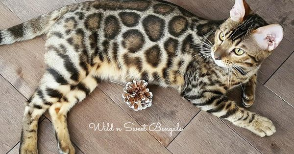 The Most Amazing Cat Breed The Bengal Cat See Our Beautiful Cat
