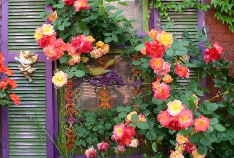 Joseph's Coat on trellis. This modern climbing rose is an orange blend,