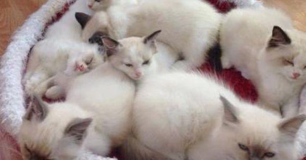 Interview With Ragdoll Breeder Bette Willette Of Willetteragdol Cattery Cattery Cat Feline Cats And Kittens