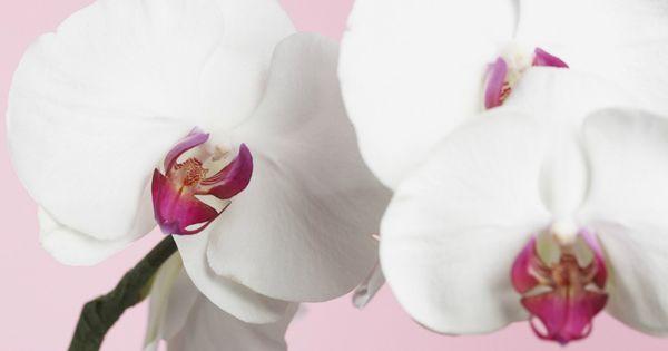 Comment Faire Refleurir Une Orchid E Plantes Vertes Specifique Et Myst Rieux