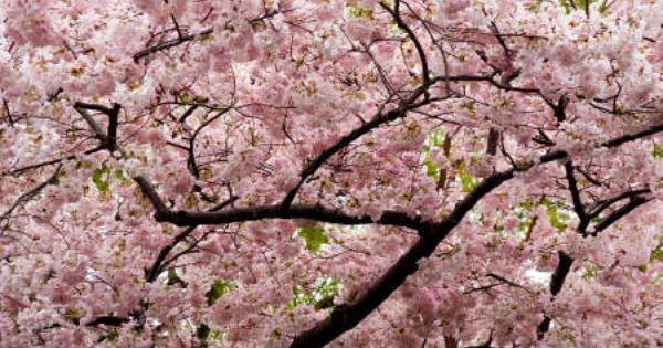 Google Image Result For Http Slices Of Life Com Wp Content Uploads 2008 02 Ch Cherry Blossom Art Japanese Cherry Tree Japanese Cherry Blossom