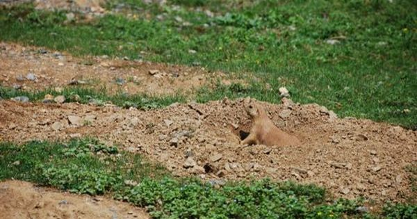 This Photo Of A Prairie Dog Is A Great Example Of Camouflage In Nature This Prairie Dog Blends In So Well With The Col Nature Projects Camouflage Prey Animals