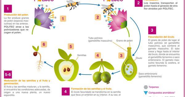 Ciclo Reproductivo Con Polinización Polinizacion De Las Plantas Maquetas De Plantas Reproduccion De Plantas