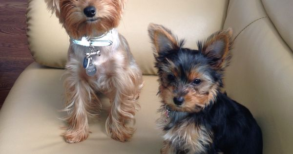 Female Yorkie Haircuts Styles with Best Yorkie Haircuts also Yorkie ...