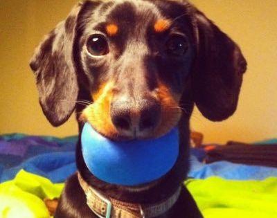 Crusoe Dachshund Crusoe The Celebrity Dachshund Wiener Dog