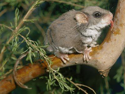 Marsupial Pictures Marsupial Mammals Australian Animals