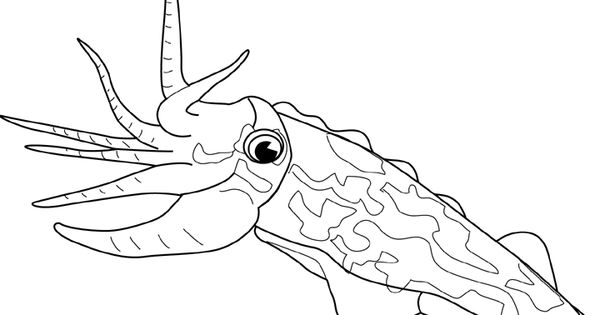 Cuttle fish coloring page google search create for Cuttlefish coloring pages