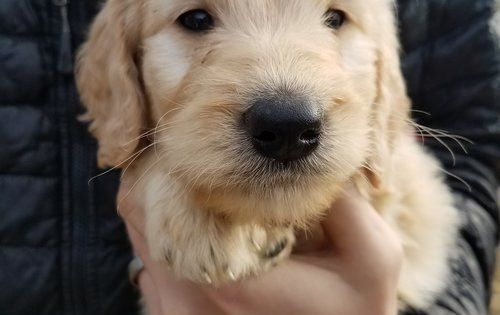 Golden Doodle Puppies For Sale Evergreen Doodlesfaq S Evergreen Doodles Doodle Puppy Goldendoodle