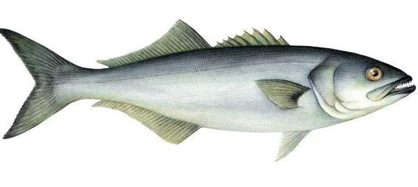 سمك مياس ملف شامل لأهم التفاصيل Fish Pet Bluefish Fish
