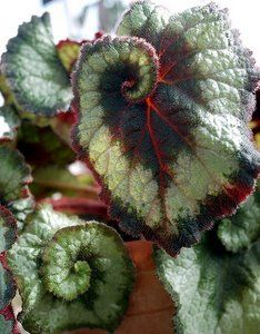 The Angel Wing Begonia And Care Of Begonia House Plants With