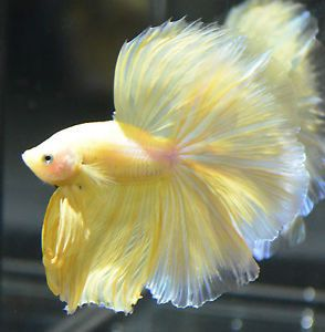 Live Betta Fish Super Show Quality Yellow Halfmoon Huge Fins Exact Fish Betta Fish Pet Fish Betta