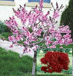 Pin By Cindy Hively On Flowering Trees Dwarf Trees For Landscaping Dwarf Flowering Trees Flowering Trees
