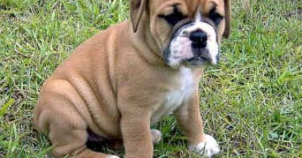 Valley Bulldog Puppies Valley Bulldog Puppies Claremont Ca