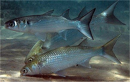 underwater photo of sea mullet | Fish list, Mullet fish ...