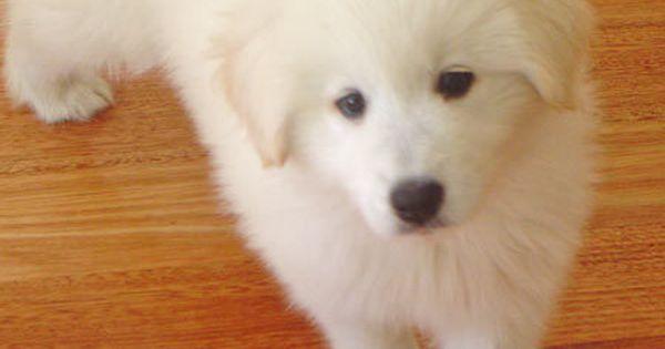 Average Price For Golden Retriever Puppy Retriever Puppy Golden