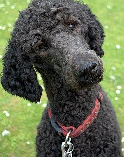 Buying Or Adopting A Standard Poodle Standard Poodle Black