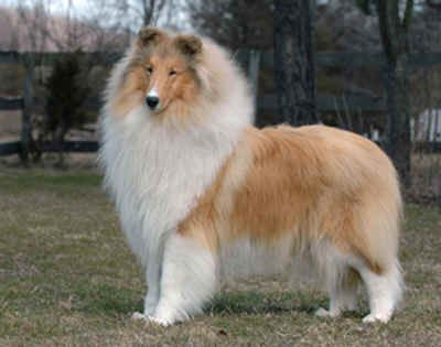 Milas Collies Combination Of Both North And South American Collies Rough Collie Collie Dog Collie