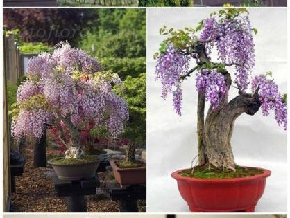 wisteria seeds how to grow