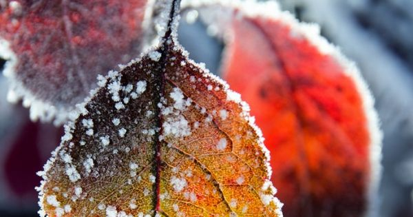 Beautiful frost on fall autumn leaves. ❤