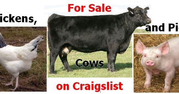 Bulls Cows Heifers And Calves For Sale On Craigslist Calves For Sale Animals Heifer