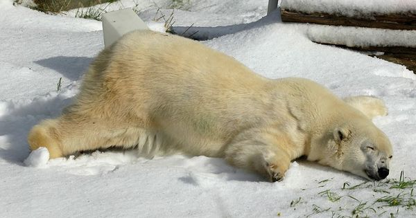The polar bear enjoying her birthday snow | The 50 Best Animal