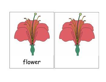 Montessori Nomenclature Parts Of A Flower Parts Of A Flower Spring Theme Preschool Montessori Materials