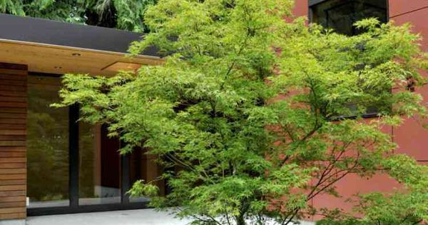 Rable du japon et herbe de japon dasn le jardin moderne - Le jardin d erables ...