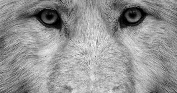 #Wolf loup