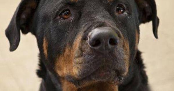 Gotti Canecorso Canecorso Dogsofinsta Italianmastiff Dogsofinstagram Mastiff Cane Corso Dog Cane Corso Cane Corso Italian Mastiff