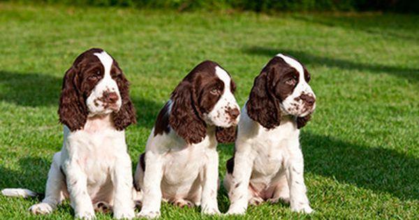 Shutterstock 132370526 Jpg 400 267 Springer Spaniel Puppies Spaniel Puppies Spaniel Puppies For Sale