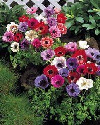 Anemone Flower Gardens For Everyone Plant Flowers Perennials Bulbs Tubers Roots Rhizomes Corms Anemone Flower Perennial Bulbs Flowers Perennials