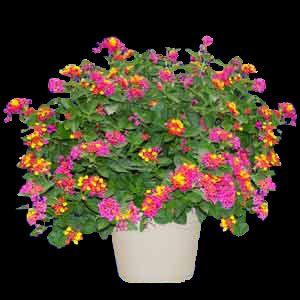 Carolina Sparkler Lantana Plant Lantana Plant Plant Sale Lantana