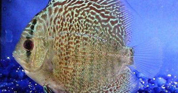 Live 3 Leopard Snakeskin Discus Symphysodon Aequifasciata Tropical Fish Tropical Fish Fish Discus Fish