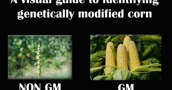 Detection of genetically modified maize in