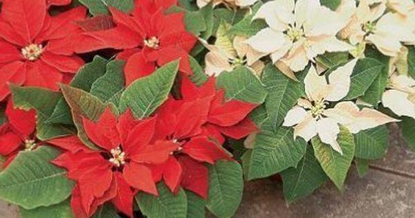 Krasnokwiat Na Jesien Grudnik Na Zime Plants