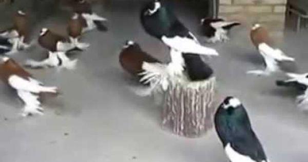 حمام نفاخ هو الحمام الوحيد من حيت الجمال والشكل Birds Bird Animals
