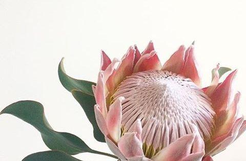 Pretty Pretty Protea Happy Saturday Lovelies Via Flora Linnea Flowers Rainy Australian Native Flowers Australian Flowers Flowers Photography