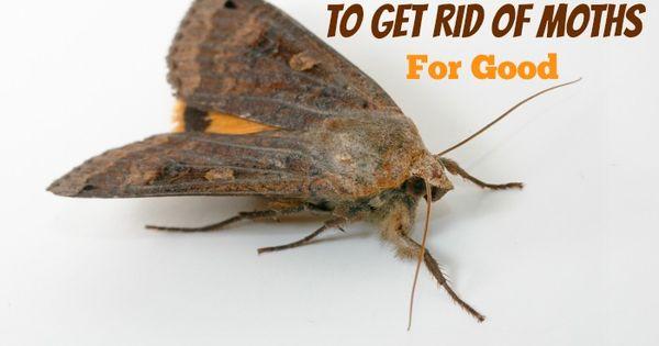 Natural Ways To Get Rid Of Moths For Good Hybridrastamama