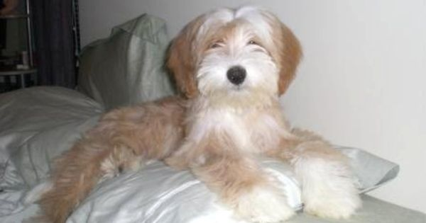 Adorable Tibetan Terrier Looks Like A Stuffed Animal Check Out Those Paws Tibetan Terrier Terrier Puppies Cute Dogs