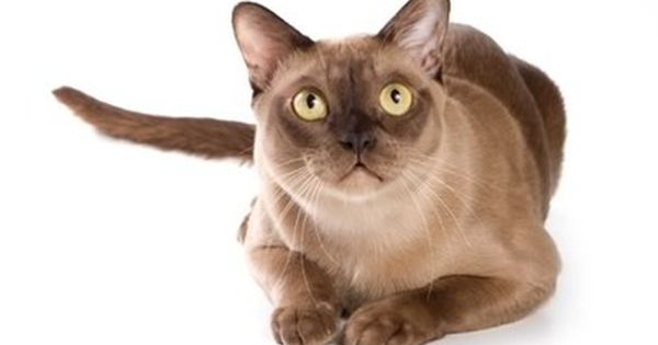 Burmese Cat Breed Information Pictures Characteristics Facts Cat Breeds Burmese Cat Cat Repellant