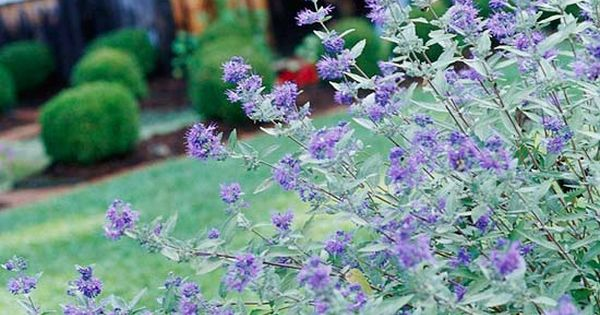 Summer blooming shrub - Bluebeard Shrub - This shrub is a treat