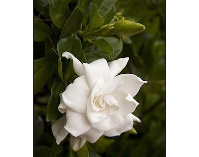 Monrovia White Everblooming Gardenia Flowering Shrub In Pot With