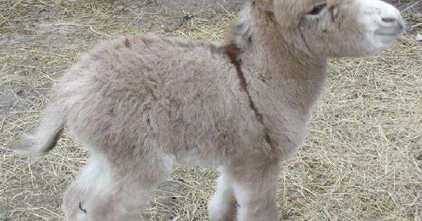 My Miniature Donkey is Cuter than Your Little Pony ~ I've wanted