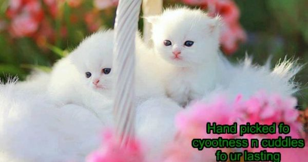Specially Picked Kittens Cutest Cute Cats And Kittens Baby Animals Beautiful white kitten wallpaper