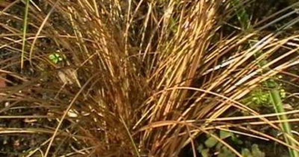 zegge - carex 'bronze reflection' | grassen/zon/evergreen,