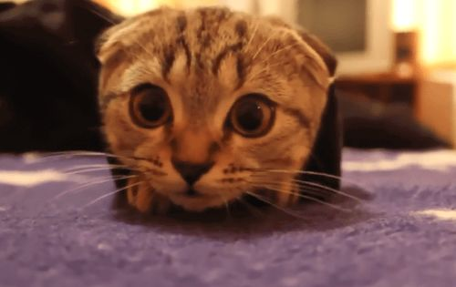 The Top 11 Distractions That Keep Writers From Writing Scottish Fold Kittens Cute Cat Breeds Scottish Fold