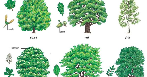 Translations Into Italian: Deciduous Trees : American Dictionary At