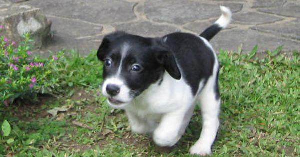 Aki The Border Collie Beagle Mix Beagle Mix Cute Dogs Beagle